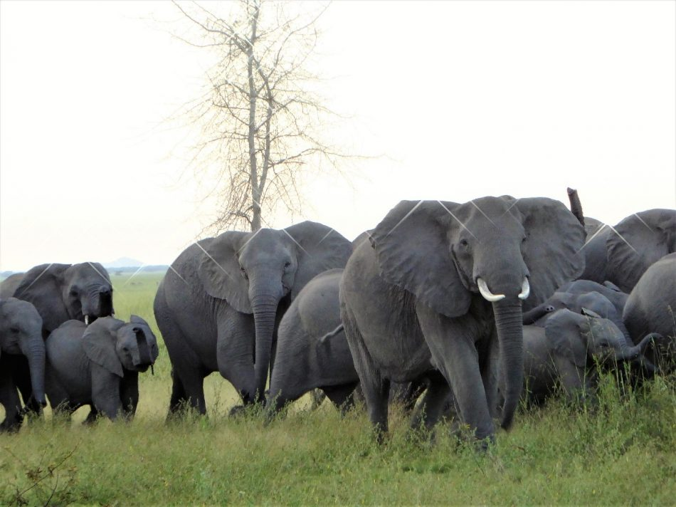 Gorongosa elephants get treatment for post-traumatic stress syndrome.