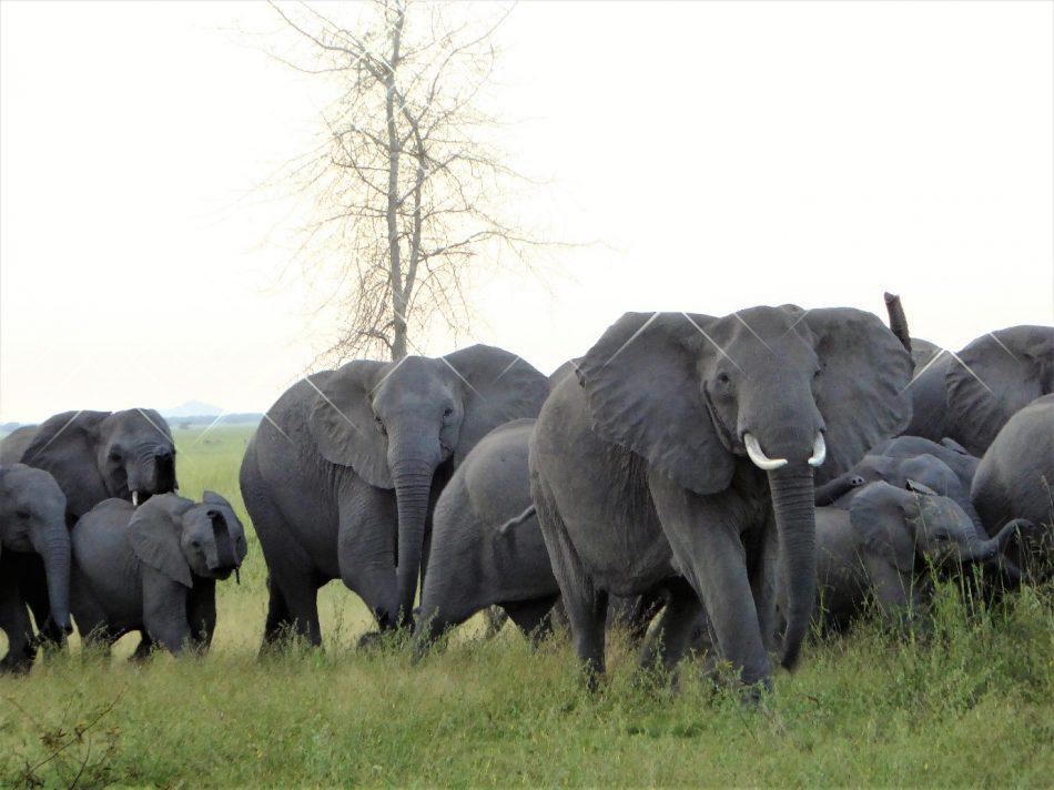Gorongosa elephants get treatment for post-traumatic stress syndrome.